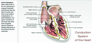 'Conduction System of the Heart'