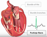 Video - Cardiac conduction system at A-Fib.com