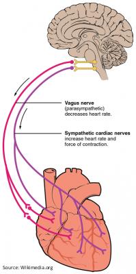 The Vagal Nerve - A-Fib.com