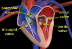 Video: Heart's circulatory system at A-Fib.com